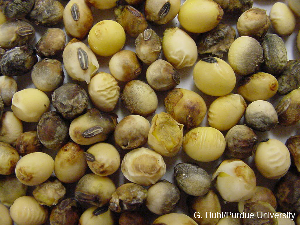 https://extension.entm.purdue.edu/newsletters/pestandcrop/article/fungal-diseases-that-can-impact-soybean-pod-and-seed-quality/